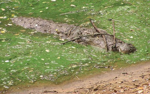 Scary smart! Clever crocodiles, alligators use sticks to lure prey