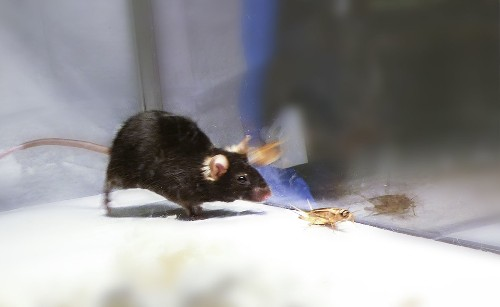 Using lasers, scientists turn mice into ferociously efficient hunters