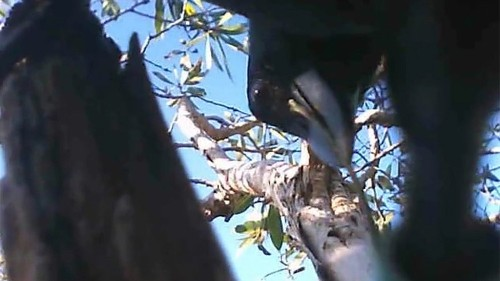 Caught on tape! Wild crows use tiny cameras to film themselves using tools - Los Angeles Times