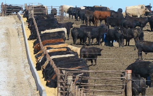 California targets cow gas, belching and manure as part of global warming fight