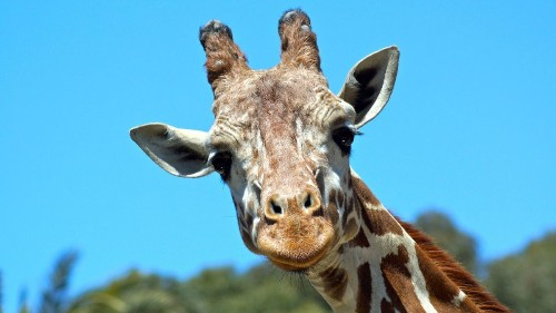 Benghazi the giraffe, Oakland Zoo artist and movie star, dies at 23