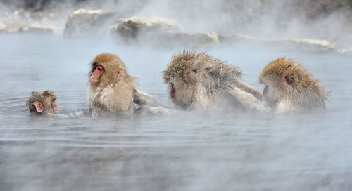 Wild monkeys suffer low blood cell counts near Fukushima power plant - Los Angeles Times