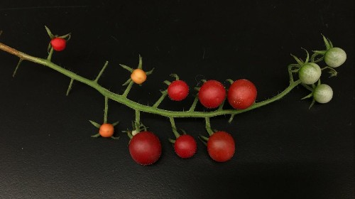 Tasteless tomatoes may be on the way out. Their flavor gene is being bred back in