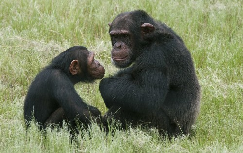 Whatever happened to the great apes of Europe? - Los Angeles Times