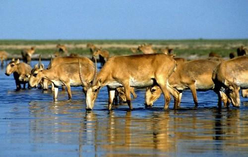 120,000 endangered saiga antelopes die mysteriously in Kazakhstan