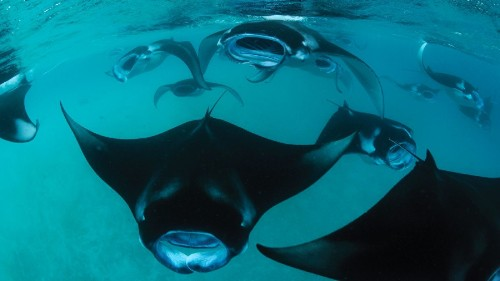 Dive and research manta rays on Four Seasons Explorer cruises in Maldives