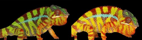 The secrets of color-changing chameleons revealed - Los Angeles Times