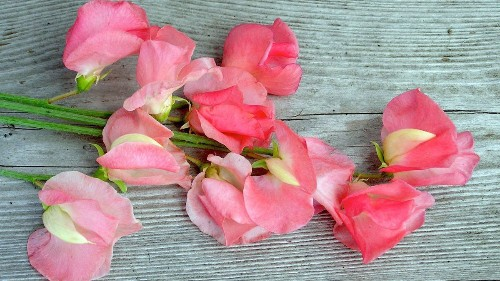 Invest in a fragrant spring by planting sweet peas — now