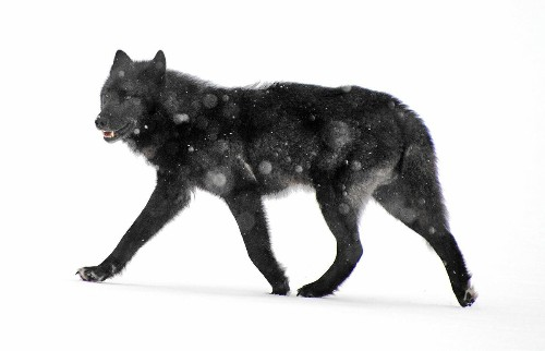 U.S. wildlife officials reject protections for an Alaska wolf in decline
