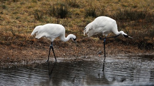There's no fooling Mother Nature, so whooping crane restoration changes course