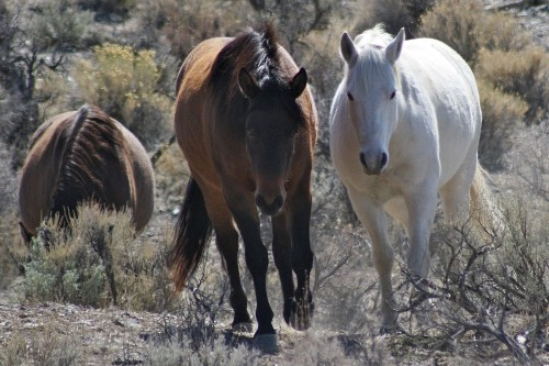 Judge's ruling paves way for Nevada horse slaughter