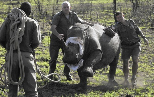 Debate over rhino horn trade ramps up as South Africa ban is lifted - Los Angeles Times