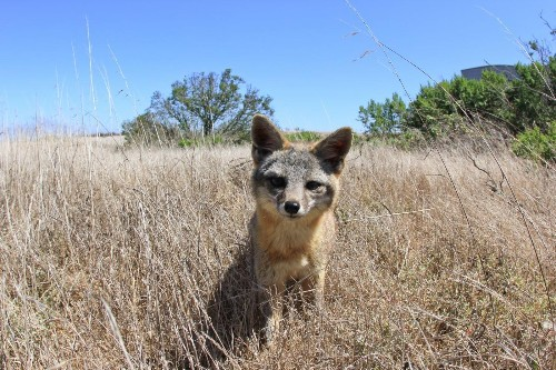 To save native island animals from extinction, eradicate the uninvited guests, study finds