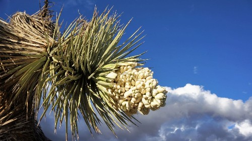 Joshua Tree's wildflowers are just starting to bloom. Here are tours that will take you there - Los Angeles Times