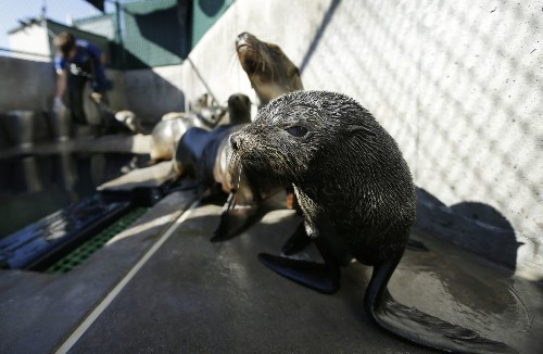 Guadalupe fur seals dying at an alarming rate off California coast - Los Angeles Times