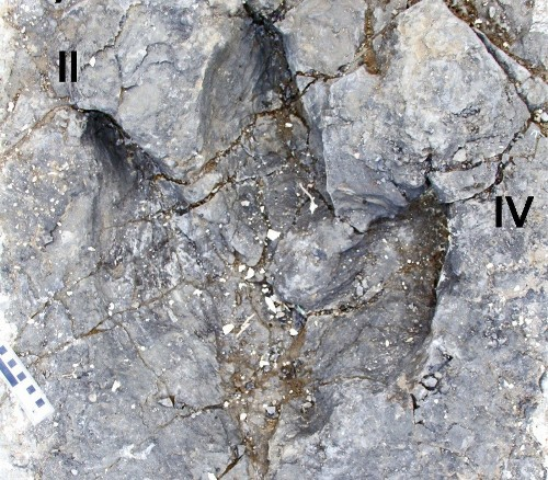 Pack attack: Tyrannosaurs ran in gangs, fossil footprints show
