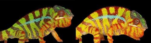 The secrets of color-changing chameleons revealed