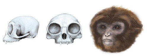 Ancestor of all apes might not be what scientists expected, new fossil shows - Los Angeles Times
