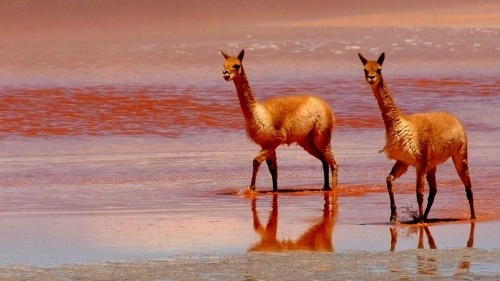 Scientists may have found the key ingredient for a universal flu vaccine, and it comes from llamas - Los Angeles Times