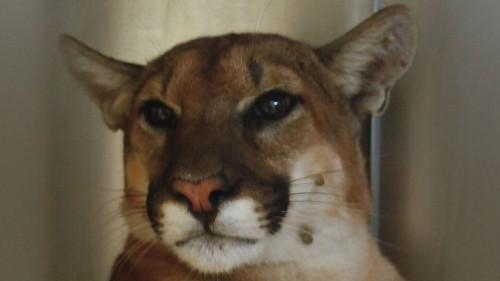 Mountain lion found taking a cat nap in Pasadena backyard