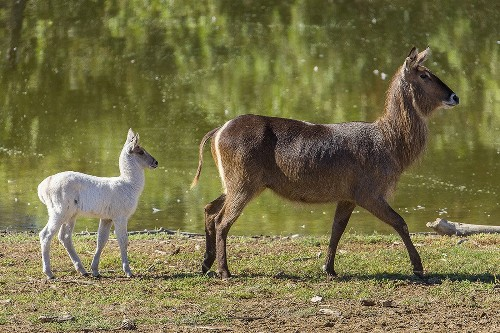 Animal with rare genetic quirk stands out at San Diego Zoo Safari Park