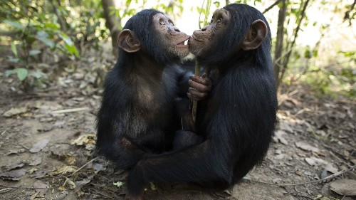 Chimpanzees may be helpful, but humans are the only primates that are kind to others, study suggests - Los Angeles Times