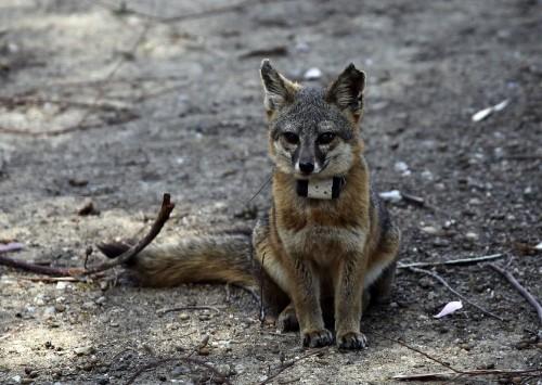 Endangered Santa Catalina Island fox population nearing full recovery - Los Angeles Times