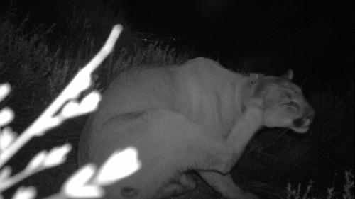 Mountain lion dies of rat poison in Santa Monica Mountains