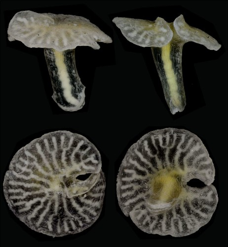 Deep-sea creature shaped like a mushroom may be in a phylum all its own