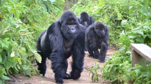 Gorillas, chimps and downward-facing dog on Rwanda yoga tour