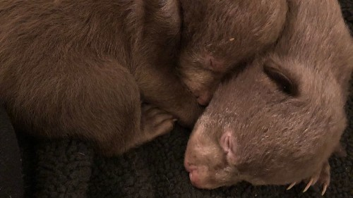 Two bear cubs found along Northern California highway may have been left by poachers
