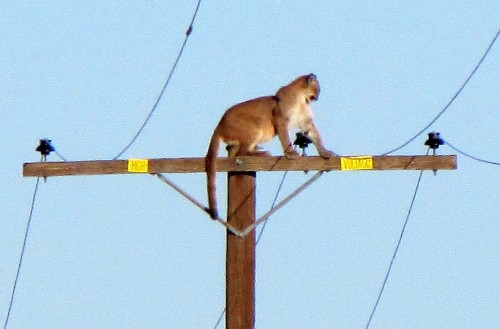Why did the cougar climb the pole? - Los Angeles Times
