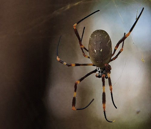 City living makes spiders big, fat and fertile, researchers say