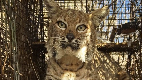 Cars are killing bobcats at an alarming rate in Southern California, biologists say