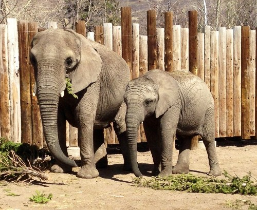 What elephants can teach scientists about fighting cancer in humans - Los Angeles Times