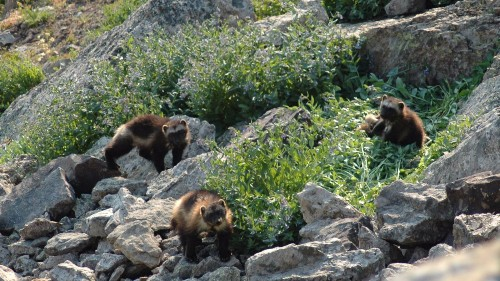 Tenacious, mysterious and maybe endangered — a wolverine roams the West