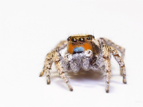 How do these jumping spiders see color? The secret is in their eyes