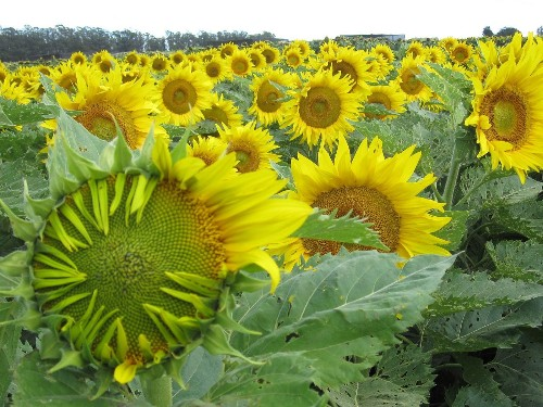 Watch sunflowers dance under the sun (Seriously)