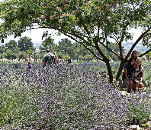 Stop and smell the lavender at these California places - Los Angeles Times