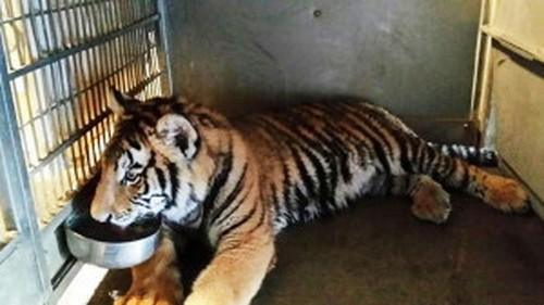 Rapper Tyga reportedly kept Bengal tiger as pet in Calabasas home