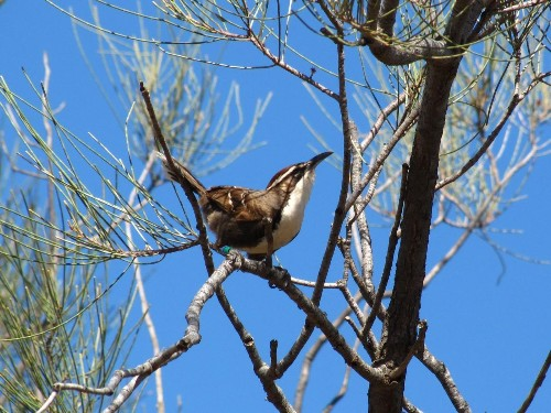 These 'babbler' birds could shed light on human language