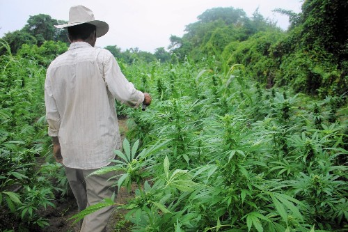 Mexican marijuana farmers see profits tumble as U.S. loosens laws