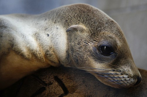 Why are so many sea lion pups starving? Scientists find the answer off the Central California coast