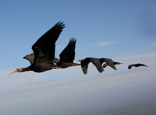 Birds flying in a V take turns in the top spot, study finds