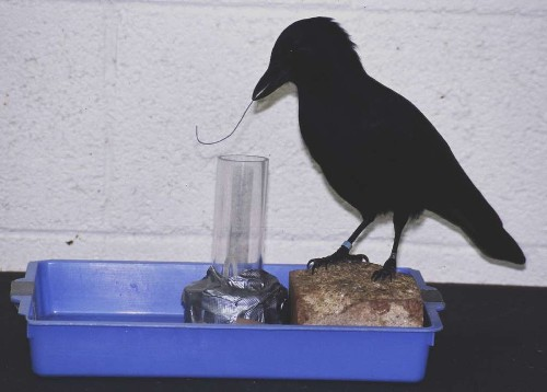 Clever crows show some 'spooky' traits - Los Angeles Times