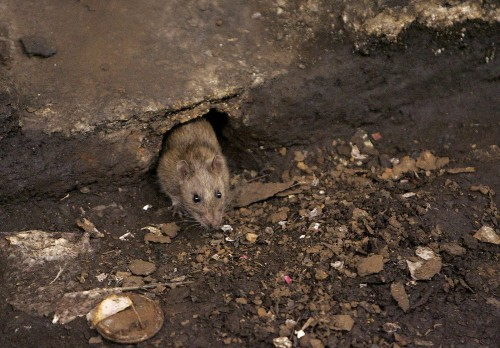 Eight million rats in New York? Not even close, a new study says - Los Angeles Times