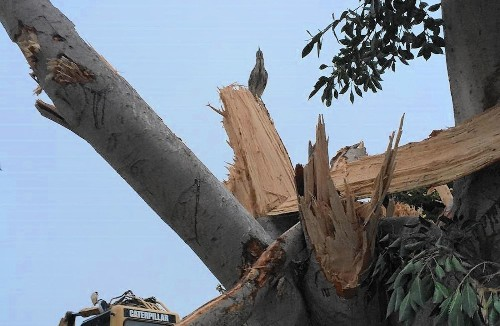 Felling of tree with nesting herons under investigation in Newport Beach - Los Angeles Times