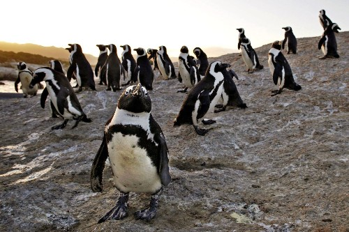 African penguins are being 'trapped' by climate change