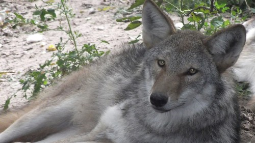 Scientists find only one true wolf species in North America - Los Angeles Times