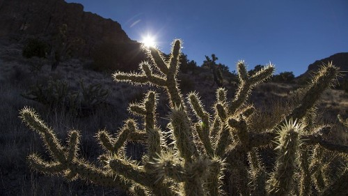 Anonymous donor buys land to help protect 'teddy bear' cactus in Mojave